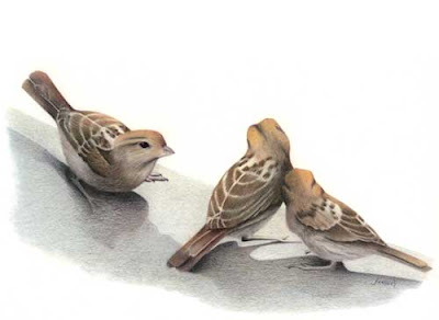 enigma britain, house sparrows, britain sparrow, sparrows, the sparrow, sparrow birds, birds sparrow, photos of sparrows