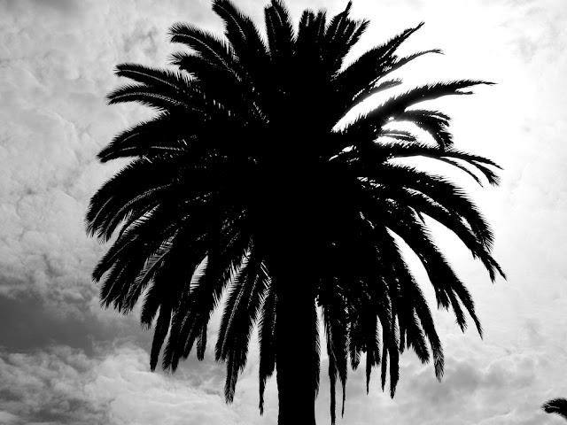 Hollywood Palm Tree