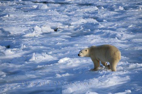 Tundra2d animales de la tundra for Que significa cold
