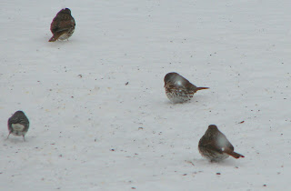 Fox Sparrows and Dark-eyed Junco