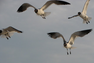 Laughing Gulls, Chincoteague NWR, VA