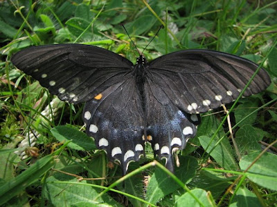 Spicebush Swallowtail butterfly, female(?)