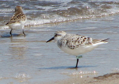 tagged Sanderling