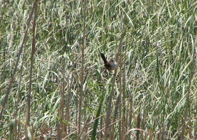 Blurry Marsh Wren