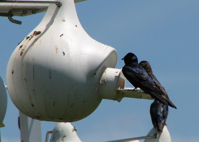 Purple Martins at a gourd