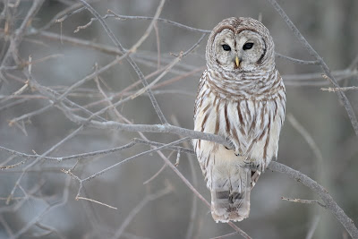 Barred Owl, from Wikipedia