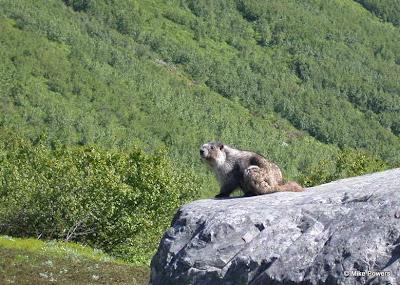 Hoary Marmot, Marmota caligata
