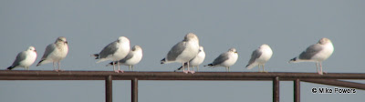 Gull Row, Herring and Ring-billed Gulls