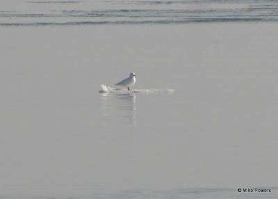 Ivory Gull floating on ice