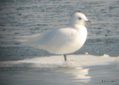 Ivory Gull perching on ice