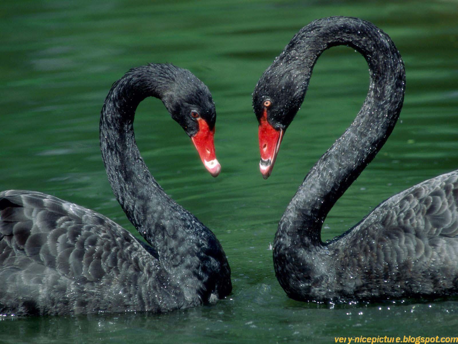 Beautiful Black Ducks Pictures