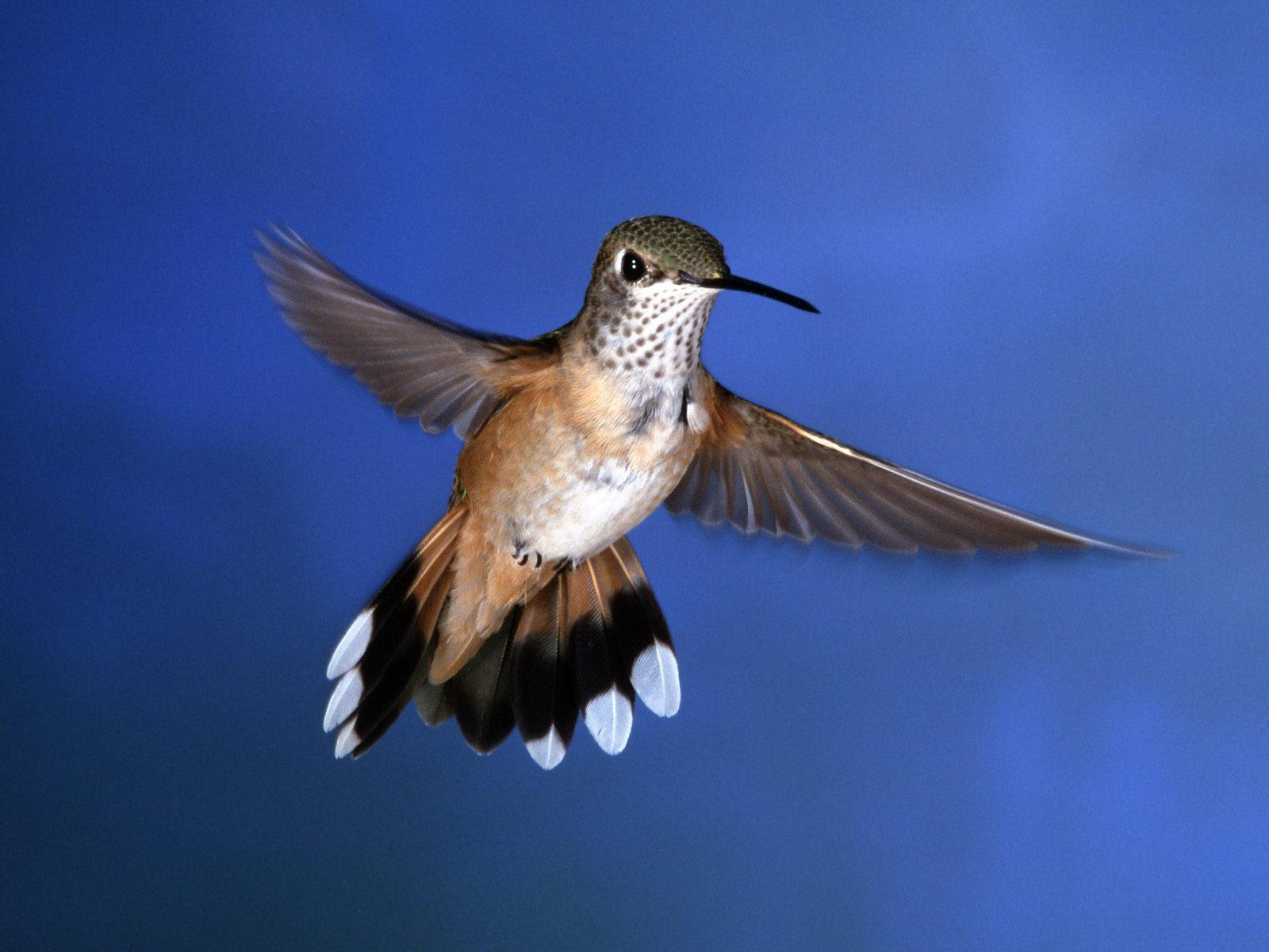 http://3.bp.blogspot.com/_VgXaDXiFvX4/TS6tcYAtXUI/AAAAAAAABFo/5BCzEPjyb8o/s1600/Rufous%252520Hummingbird.jpg