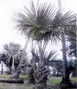 Buri Tree