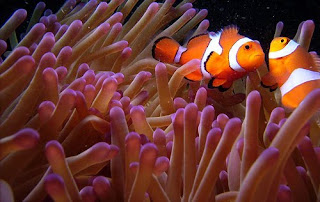 Nemo Coral Reef
