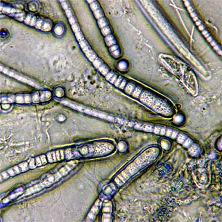 Bacteria produce fuel water