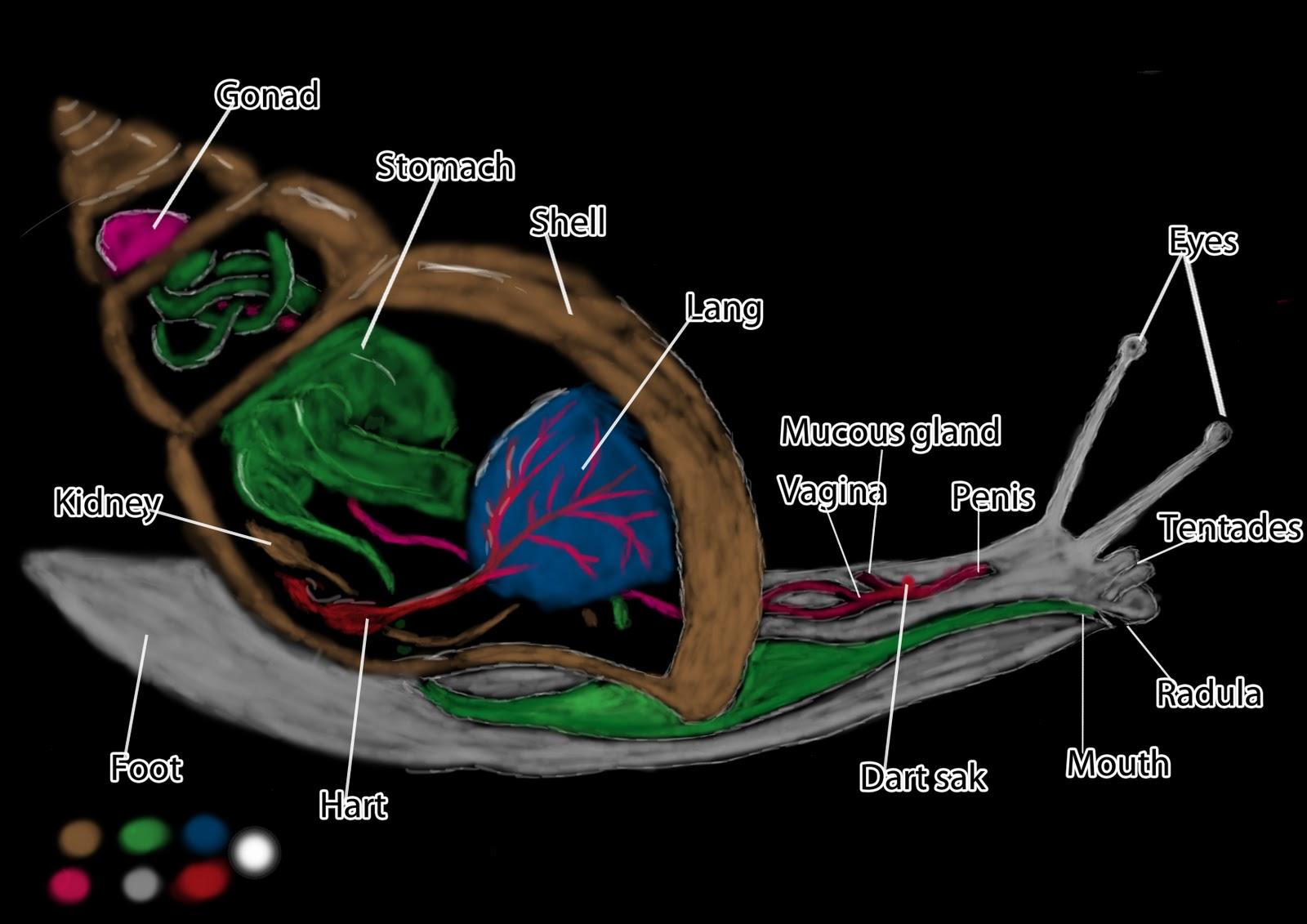 LeGzY AKA ROYCGAA @ UCA Rochester: Snail Anatomy