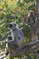 Greeted by langur monkeys