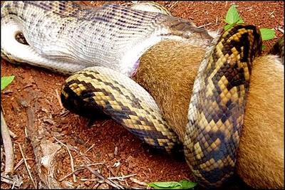 Bbig Snake Eat a Kangaroo in Australia Forest