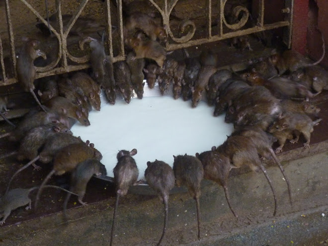 the rat temple - the most pampered rats in India