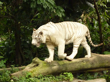 the famous white tiger in the Singapore Zoo