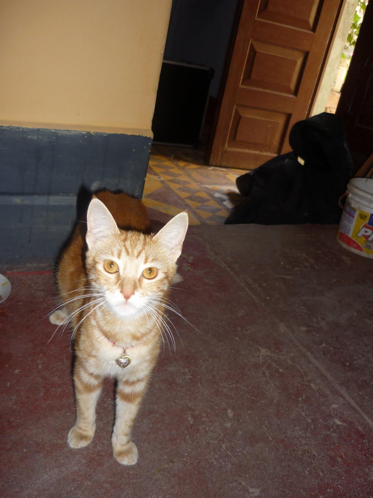 Gatos como eliminar las pulgas del gatos - Como erradicar las pulgas ...