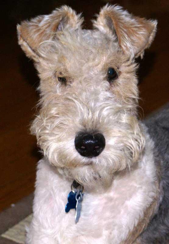 Wire Haired Terrier : My new wire hair fox terrier whitman art dog