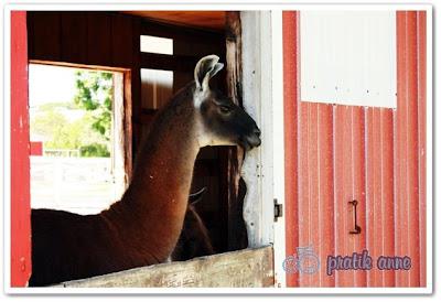 Gezilerimiz – Kuzu Çiftiği (Lambs Farm)