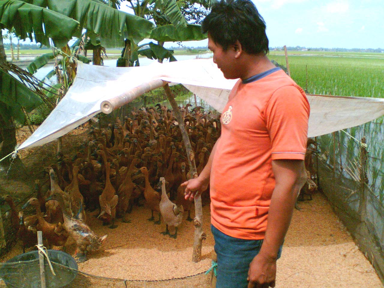 Kandang Bebek