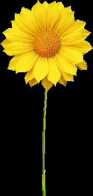 Yellow Daisy Png 狮城华语辅导: �...