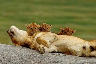 leona muerta