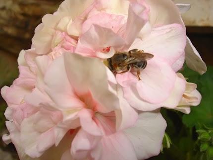 Tiuba coletando nectar