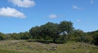 Alentejo, troupeau de porcs, avril 2009