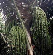 AREN (Arenga pinnata)