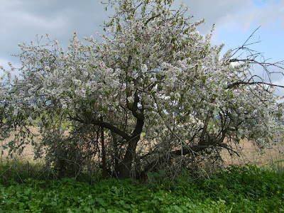 Almendro en Israel - Almond tree in Israel