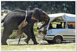 Um elefante que vive cativo....
