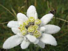 Flor Adelvais floriu no meu coração
