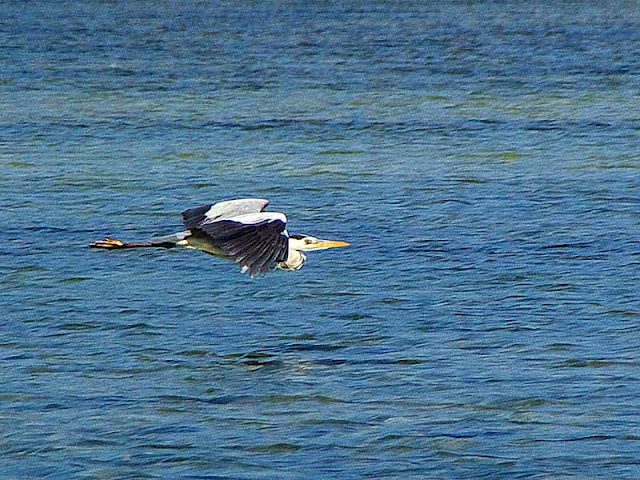 bird,grey heron, flying