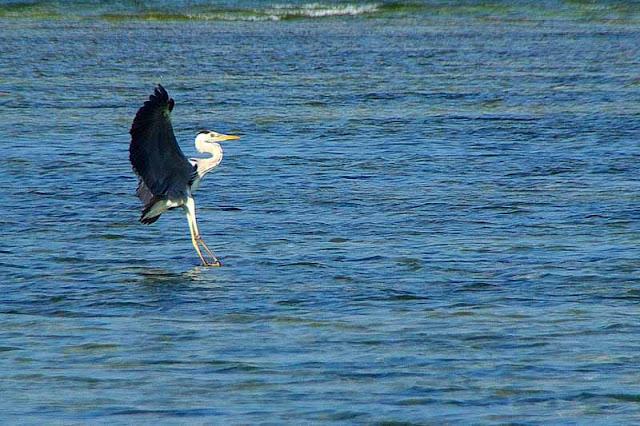 bird,landing,heron,Japan
