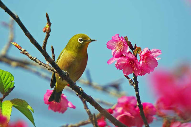 bird, Japanese White Eye, Mejiro,humor,Cherry Blossoms, sakura