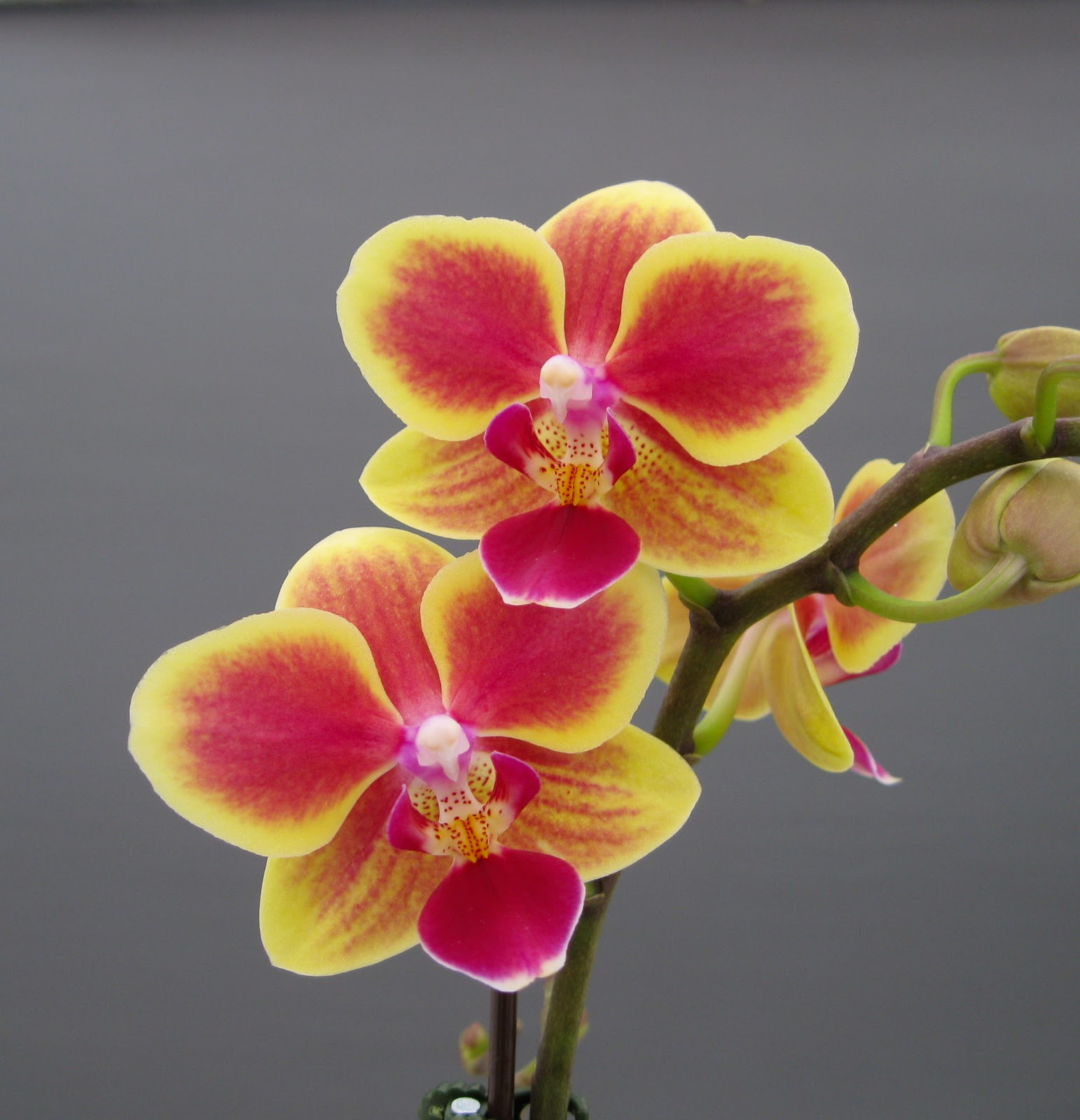 Miniature Moth Orchids...