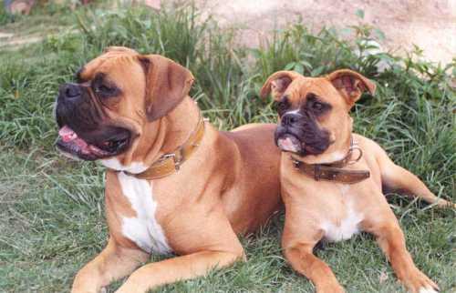 Boxer ialah salah satu ras murni anjing. Dalam klasifikasi anjing ras