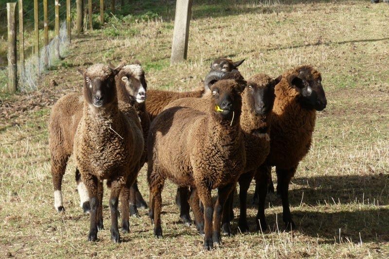 Pitt Island Sheep New Zealand