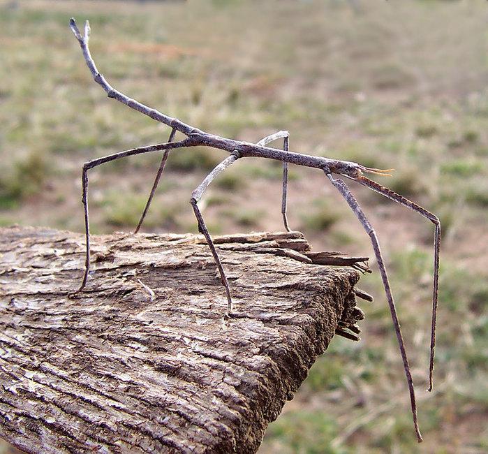 El insecto mas grande del mundo
