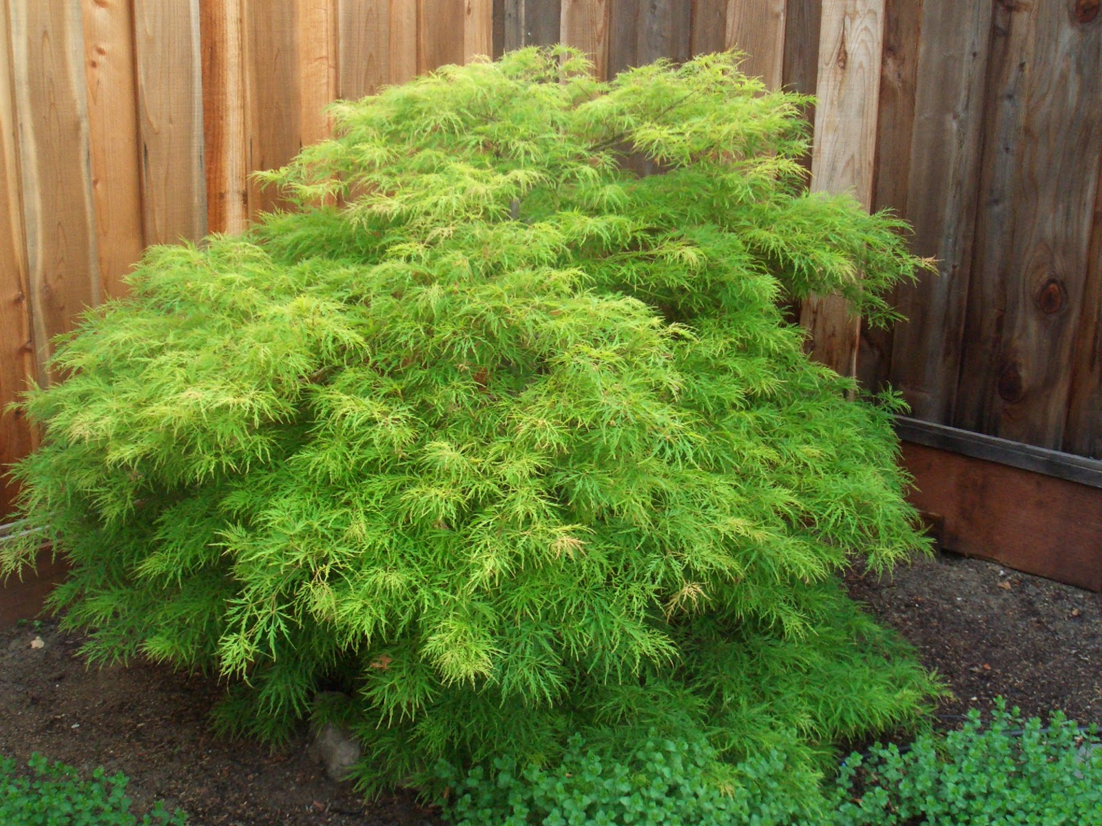 Mark taylor bring a liitle bit of the orient to your for Small tree varieties
