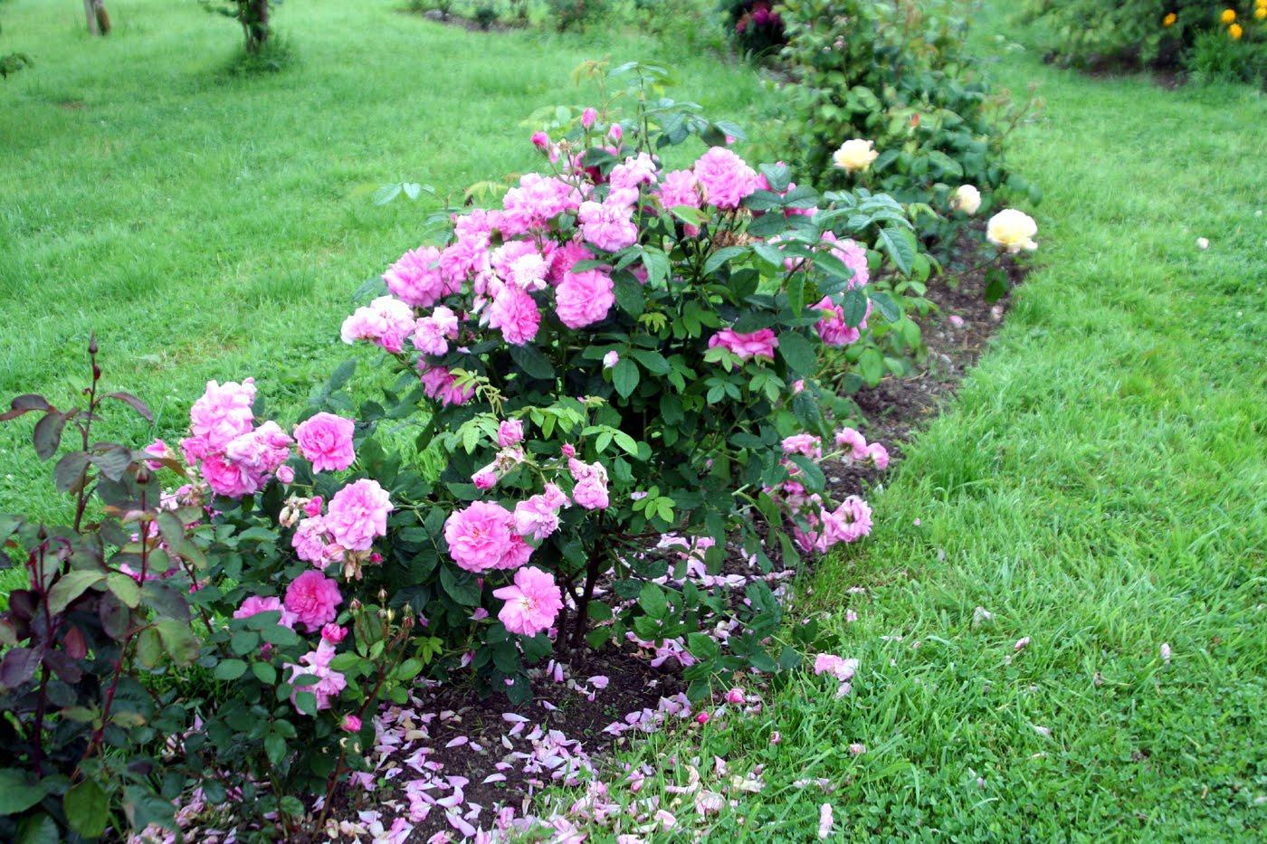 Rose garden this pink rose bush hasn 39 t for Garden rose trees