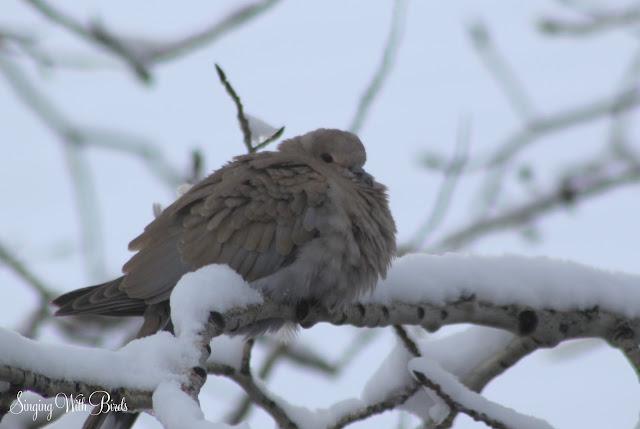 Dove dancing in snow