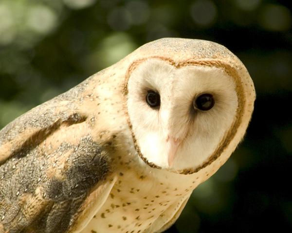 barn owls - photo #5