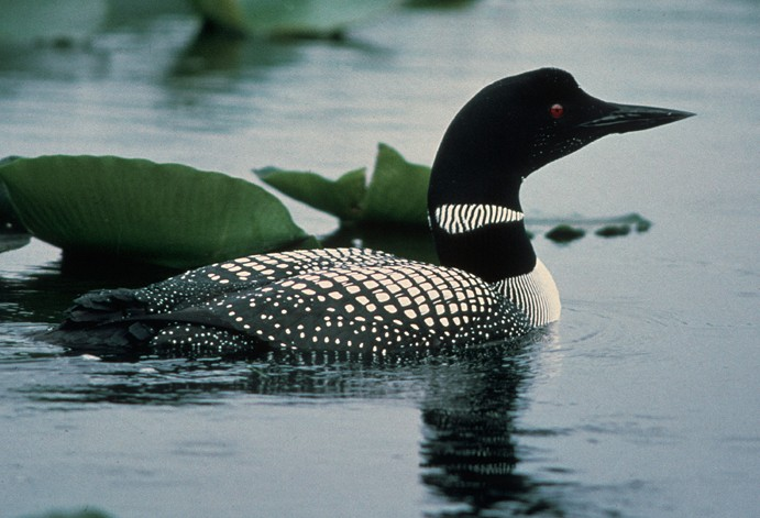 common loon feet. The common loon is found in