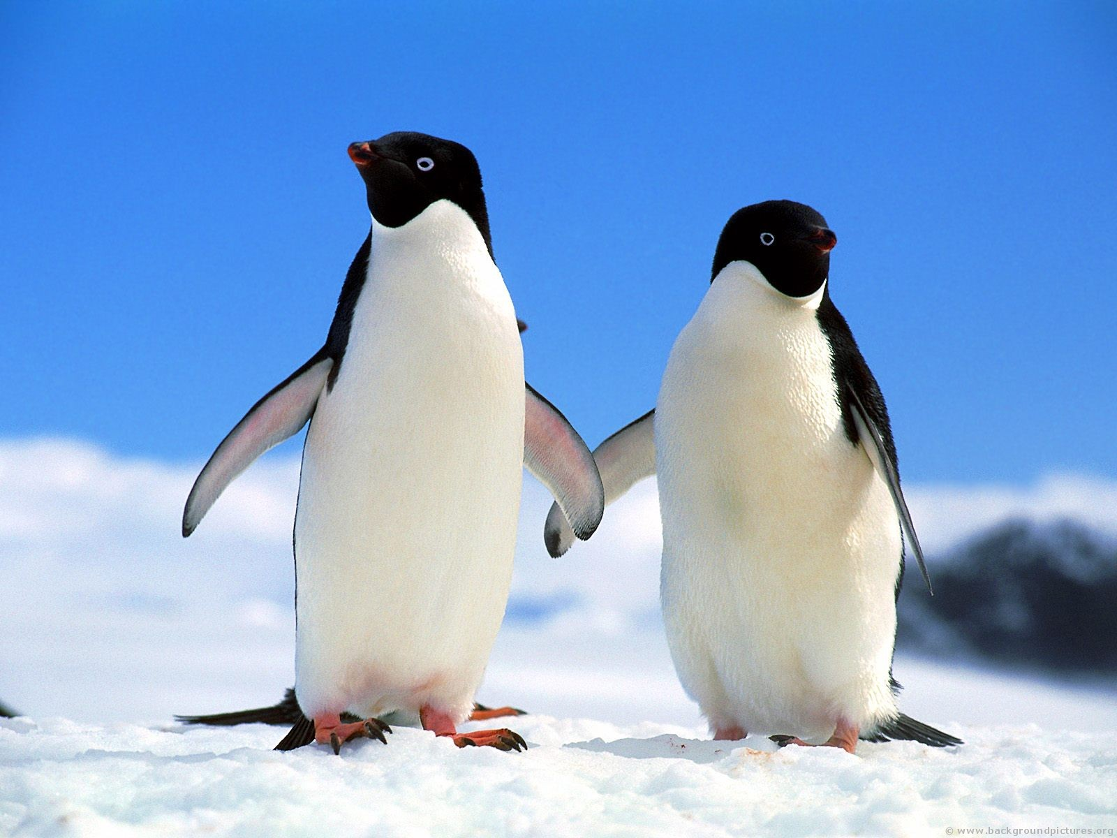 Images of adelie penguins - photo#1