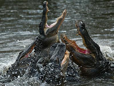 aligators ass in